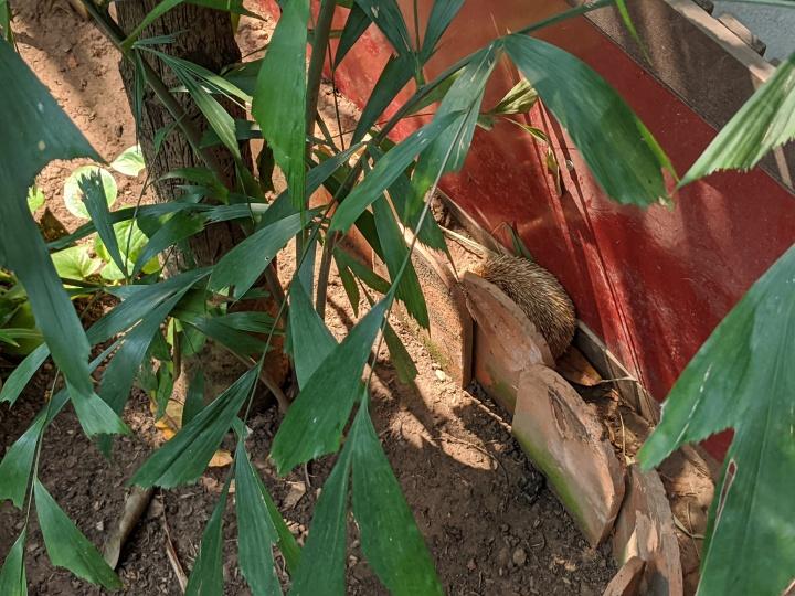 Pavilion Hedgehog II